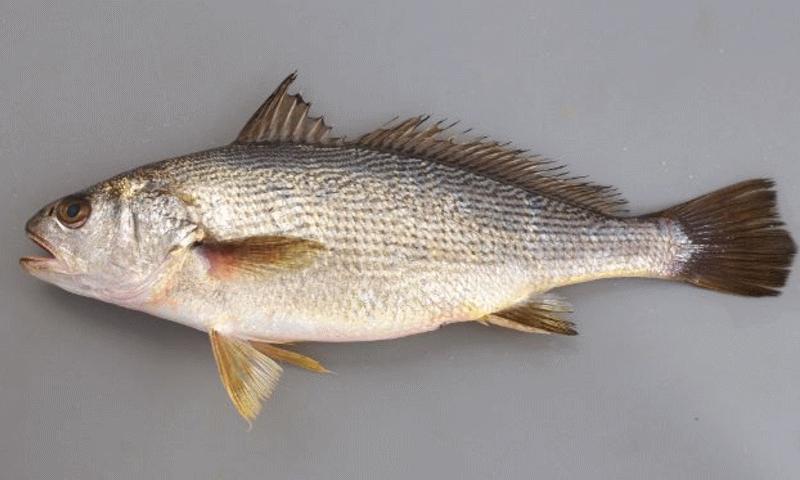 """びろう樹の魚フライは""""にべ""""を使っています。"""